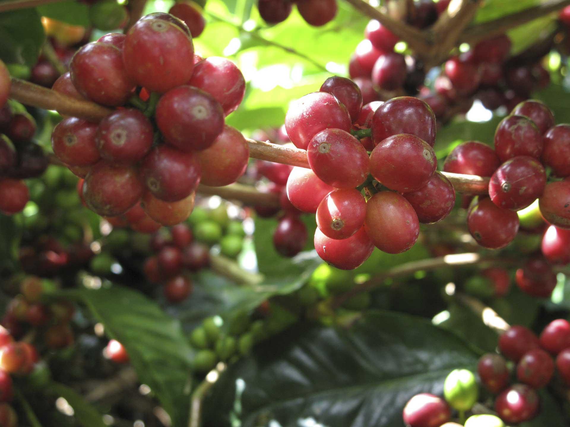 アラビカの完熟果実