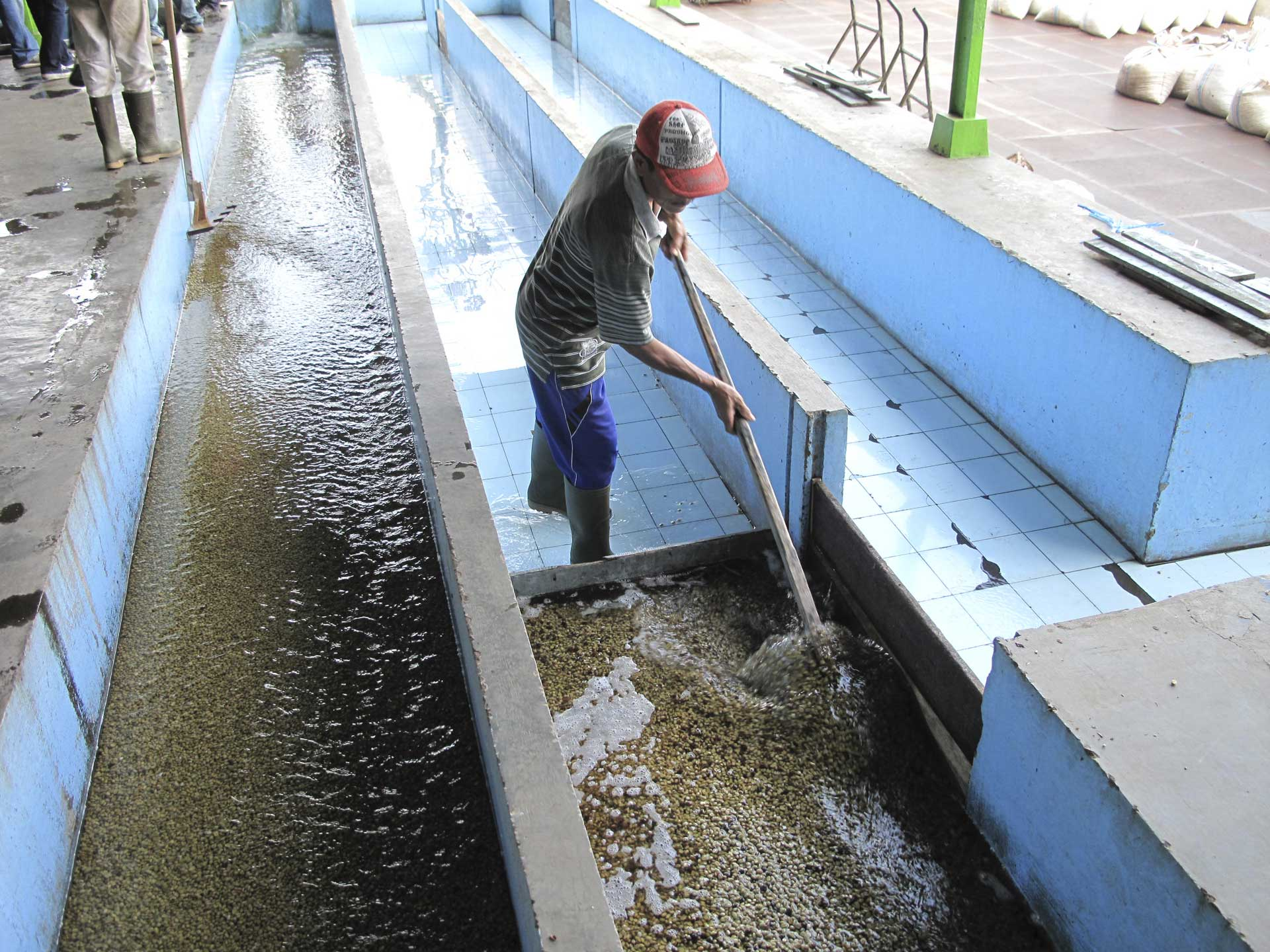 脱肉後に水路でミューシレージを水洗い